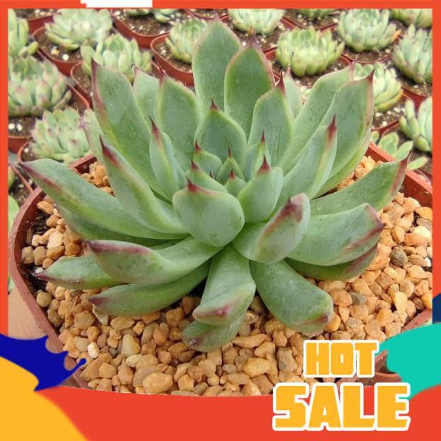 กระบองเพชร ยิมโนด่าง แคคตัส Echeveria Texensis Rosea กุหลาบหินนำเข้า ไม้อวบน้ำ Live Succulents Plant