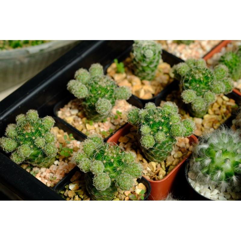 แคคตัสตุ๊กตาญี่ปุ่น Mammillaria gracilis cactus