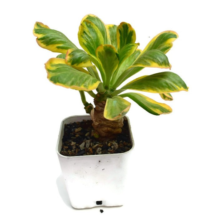 ต้นไม้อวบน้ำ Euphorbia poissonii variegated ลักษณะคล้ายพญานาคราชด่าง ส่งพร้อมกระถาง 3 นิ้ว