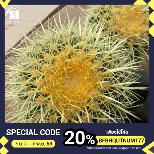 (echinocactus grusonii)Golden barrel cactus