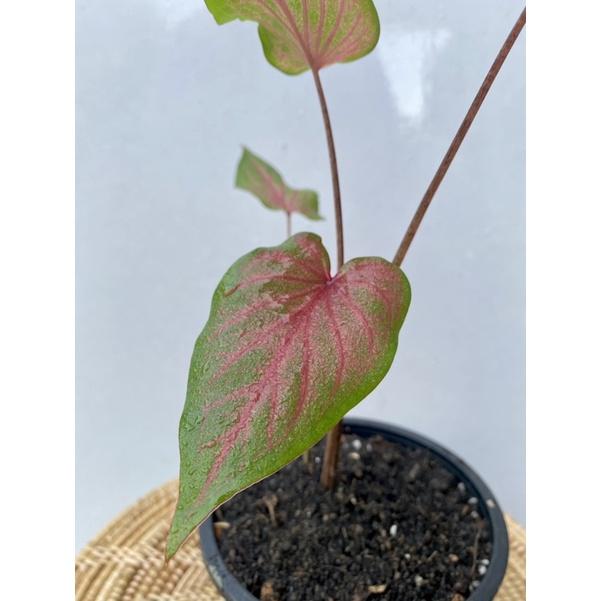 บอนสี ราชินีแห่งไม้ใบ ✨ พระลักษณ์ บอนสีตับรามเกียรติ์ ต้นใหญ่
