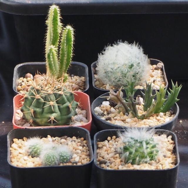 พืชอวบน้ำ กระบองเพชร succulent ยิมโน ขนนก ขนแมว เก๋งจีน ปราสาทนางฟ้าด่าง Cactus mammillaria, gymnocalycium