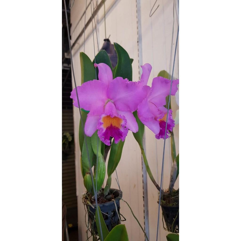 """ต้นกล้วยไม้ แคทลียา (Cattleya)"""" ราชินีแห่งกล้วยไม้ สีม่วง ไม้พร้อมให้ดอก ดอกใหญ่พิเศษ ดอกหอม ออกดอกตลอด เลี้ยงง่าย จัดส่"""
