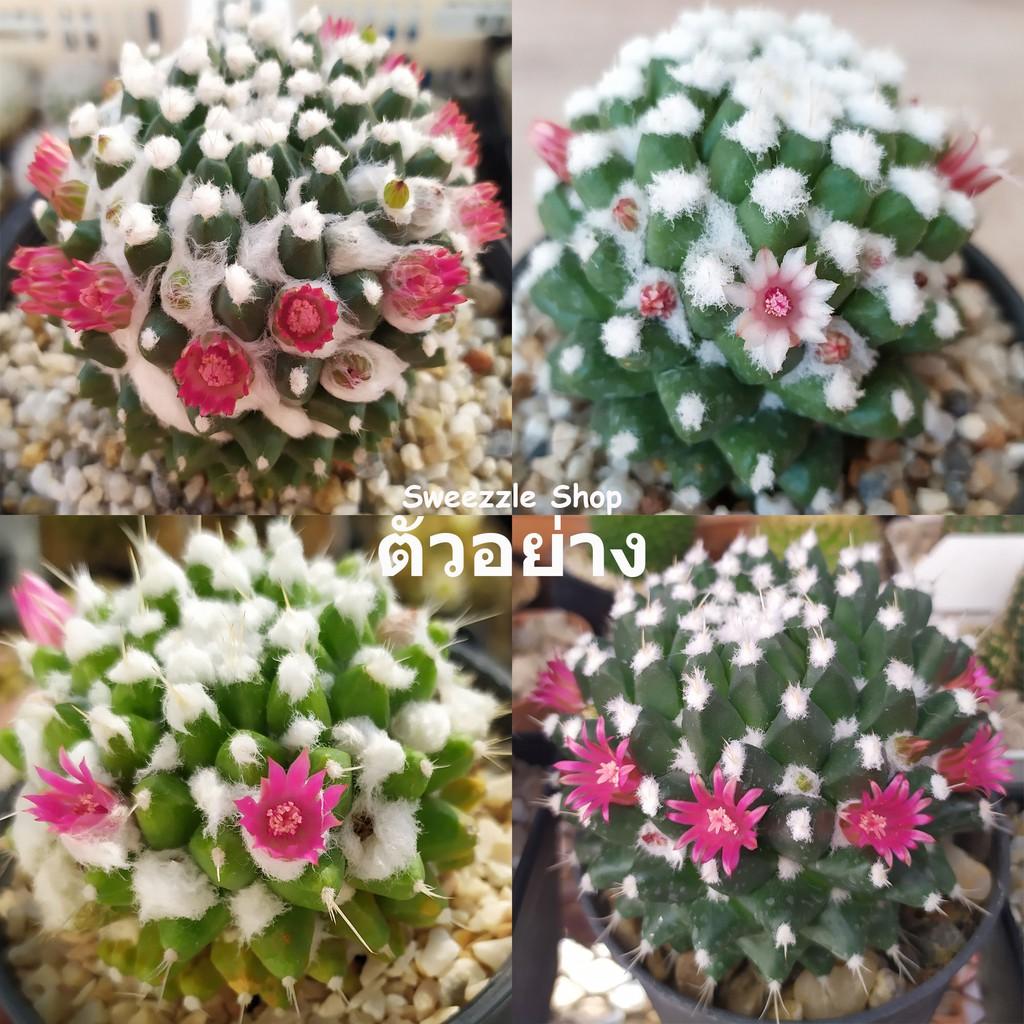 """กระบองเพชร แคคตัส (Cactus) แมมปุยหิมะ """"อิรุซามุ"""" (Mammillaria bucareliensis """"Erusamu"""") จัดส่งทั้งกระถาง"""