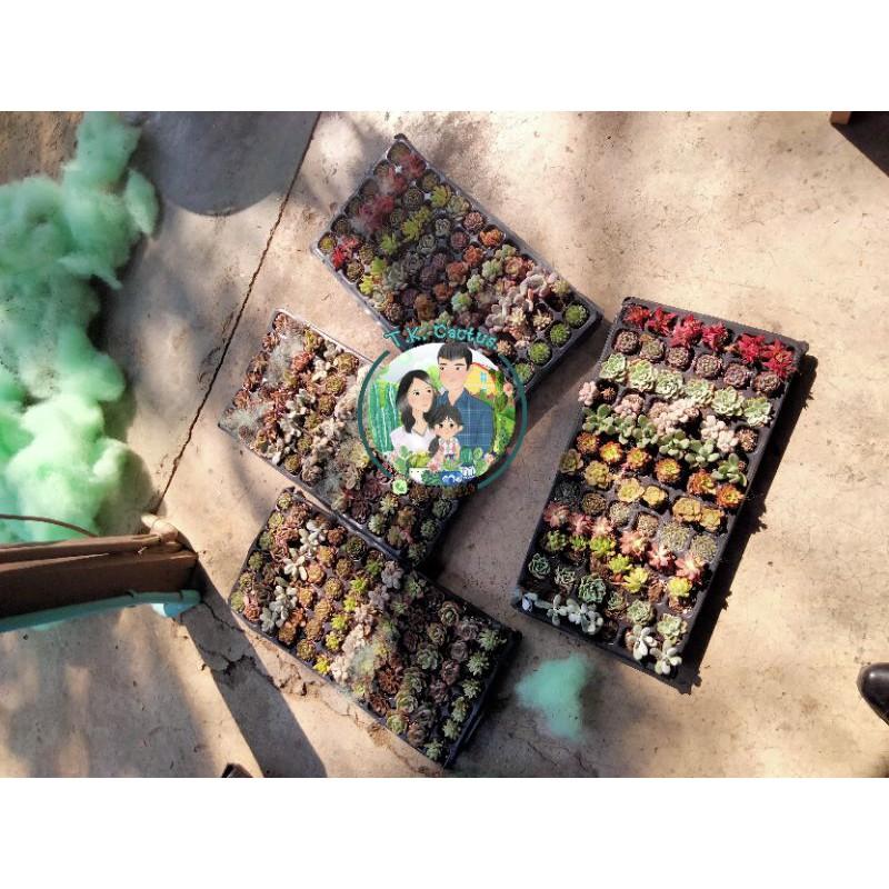 กุหลาบหิน/ไม้อวบน้ำ/succulent แบบจัดชุด