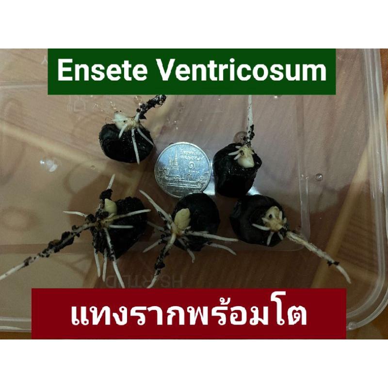 กล้วยเอธิโอเปีย กล้วย Ensete Ventricosum เอสเซเต้ เอ็นเซเต้น แบบรากงอก แทงรากแล้ว