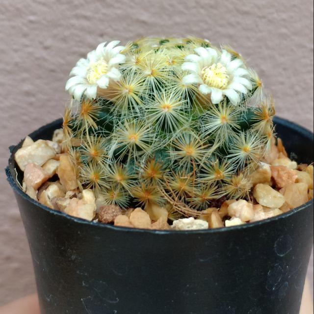 กระบองเพชร Cactus ขนทอง