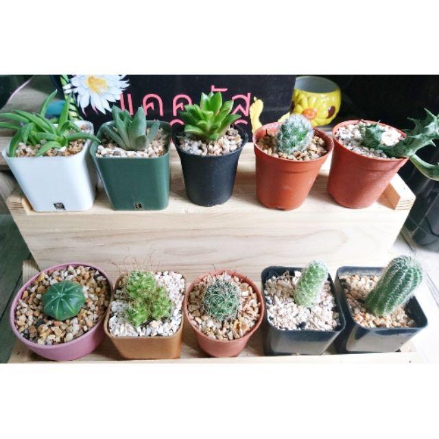 ต้นละ 15 - 25 บาท อ่านรายละเอียดก่อนนะคะ 🌵 กระบองเพชร ไม้อวบน้ำ 🌵 cactus & succulents 🌵