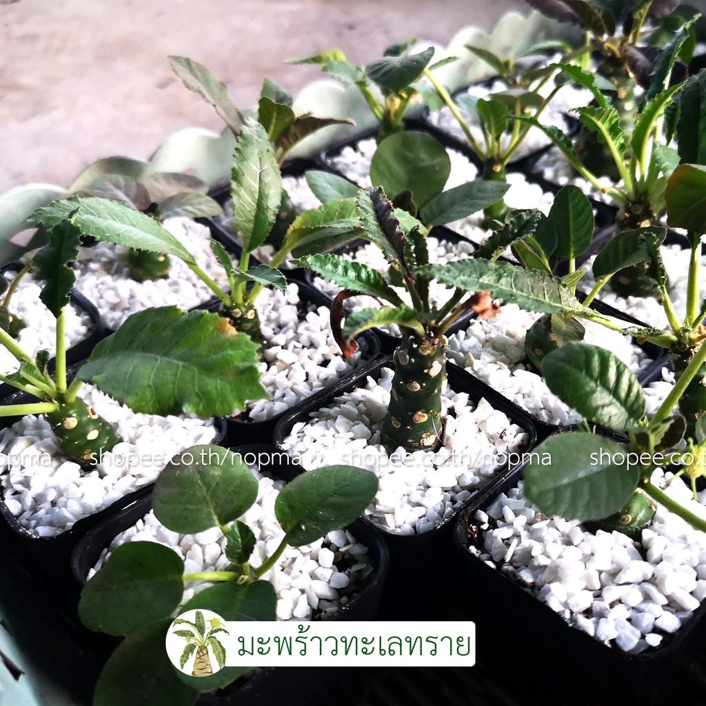 มะพร้าวทะเลทราย (Dorstenia Plant) แคคตัส ไม้อวบน้ำ ในกระถาง 2 นิ้ว