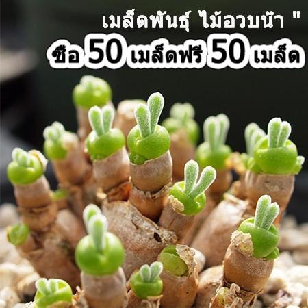ซื้อหนึ่งแถมหนึ่ง เมล็ดพันธุ์ไม้อวบน้ำ Monilaria obconica (หูกระต่าย) 50 เมล็ด