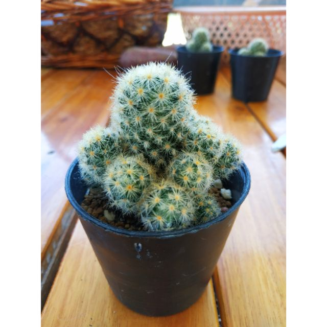 Mammillaria camenae  แมมคามิเน่ กระบองเพชร cactus