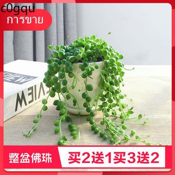 Succulents เมล็ด กุหลาบหิน ☆ลูกปัดอธิษฐานยาวสุด ๆ , เถาวัลย์ยาว, น้ำตาคู่รัก, พืชแมงมุม, พืชอวบน้ำ, ไม้แขวนสีเขียว, ดอกไ