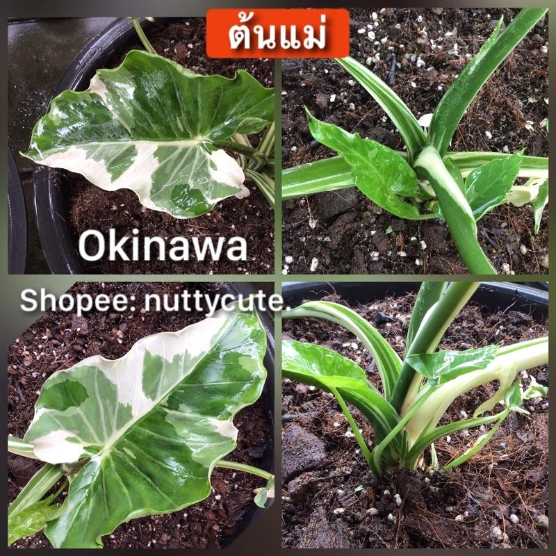 Alocasia Okinawa Silver บอนโอกินาว่า