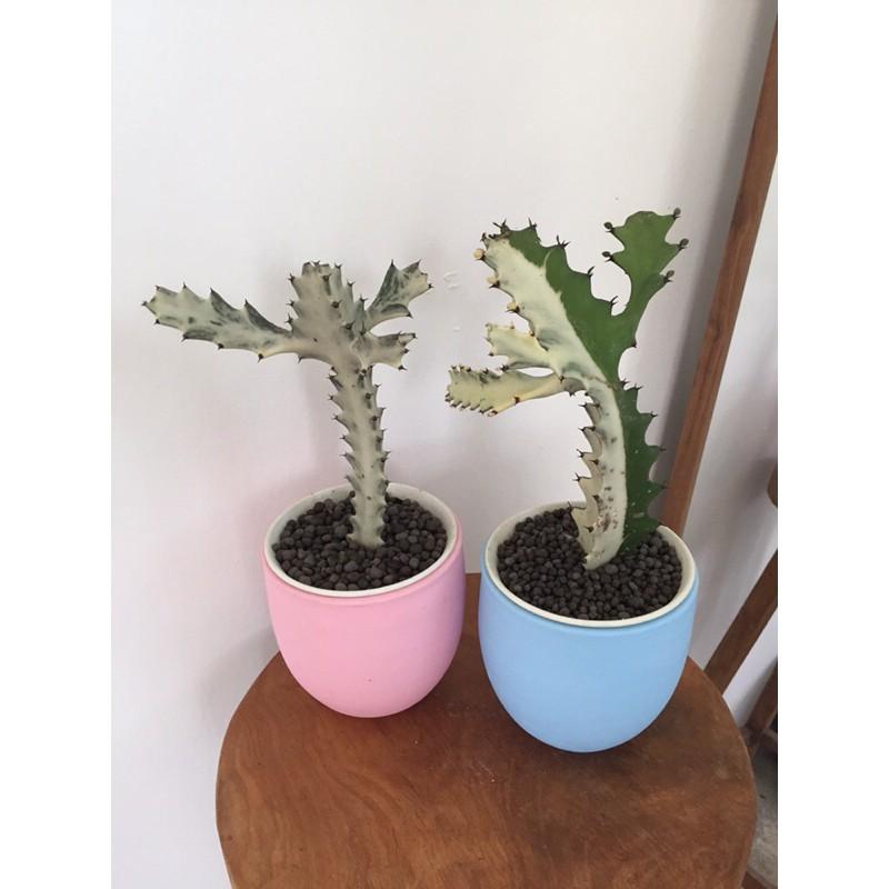 ยูโฟเบีย แลคเทีย ไวท์โกส#cactus#กระบองเพชร #euphorbia lactea white ghost#กระดูกมังกร