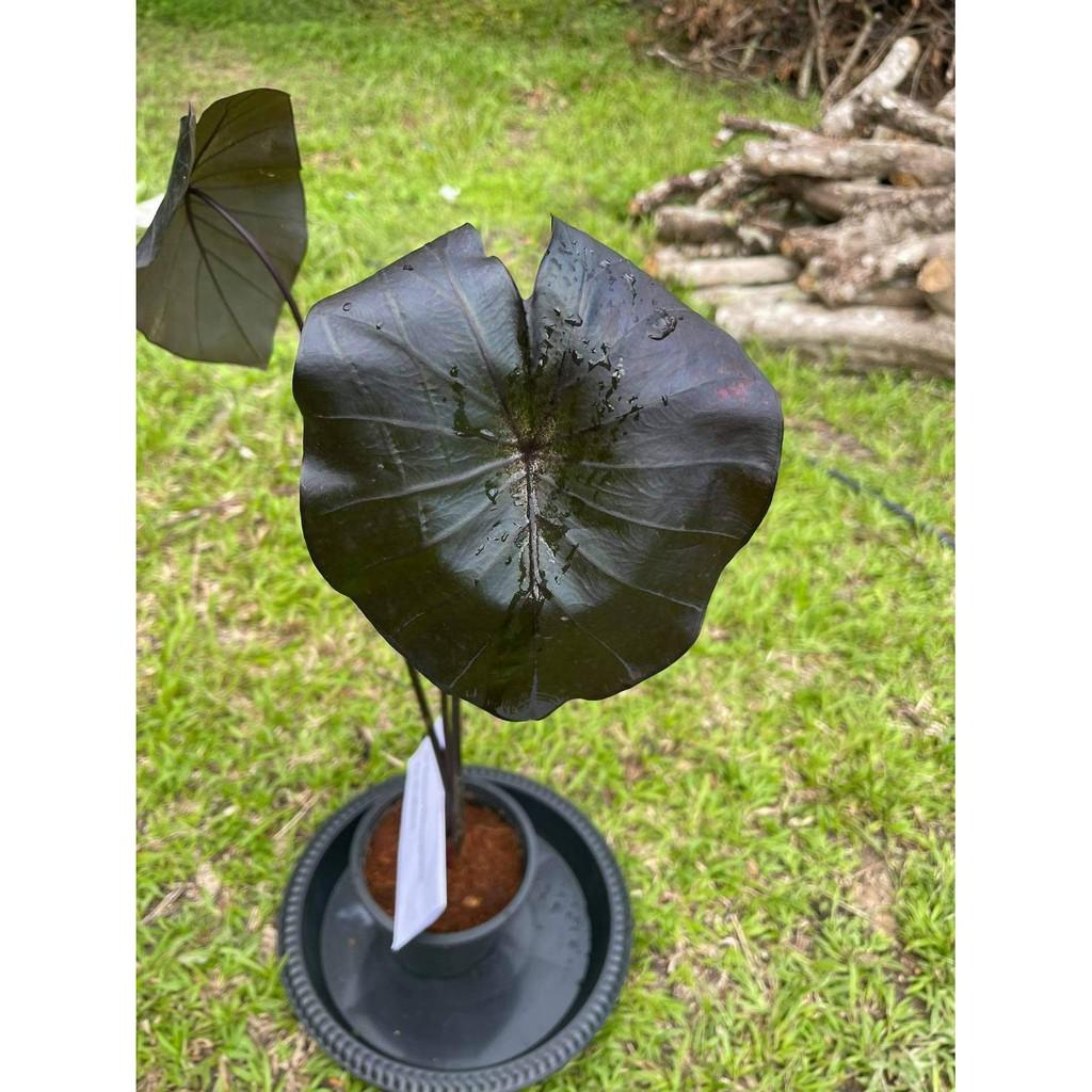 (พร้อมส่ง) colocasia black coral บอนดำ ต้นมีความสูง 79 cm. มี 3 ตาหน่อ ตั้งแม่ได้ Black coral