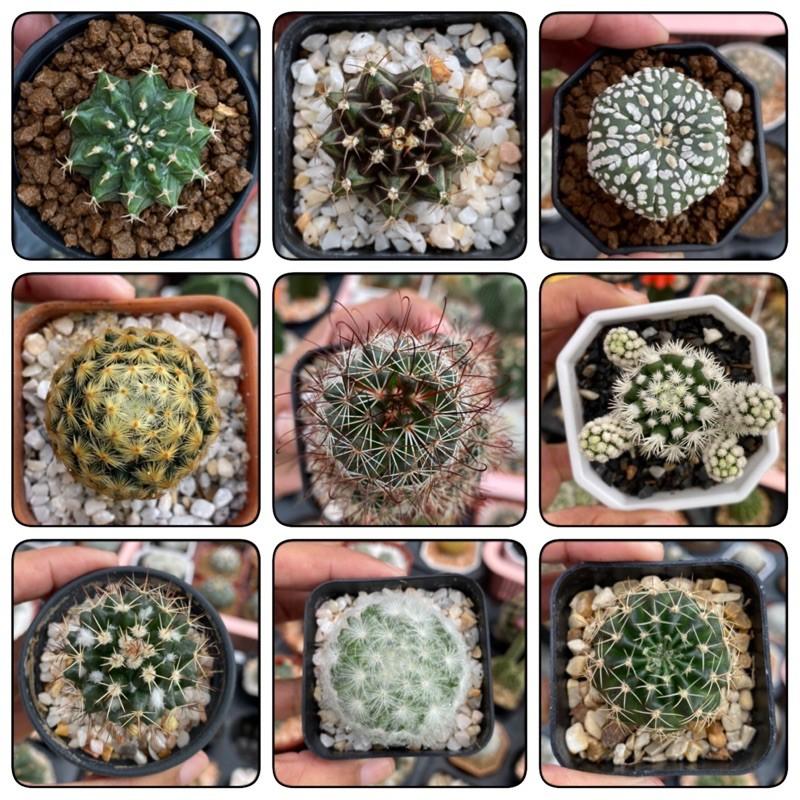 #Cactus หลายสายพันธุ์ size 3-4 cm