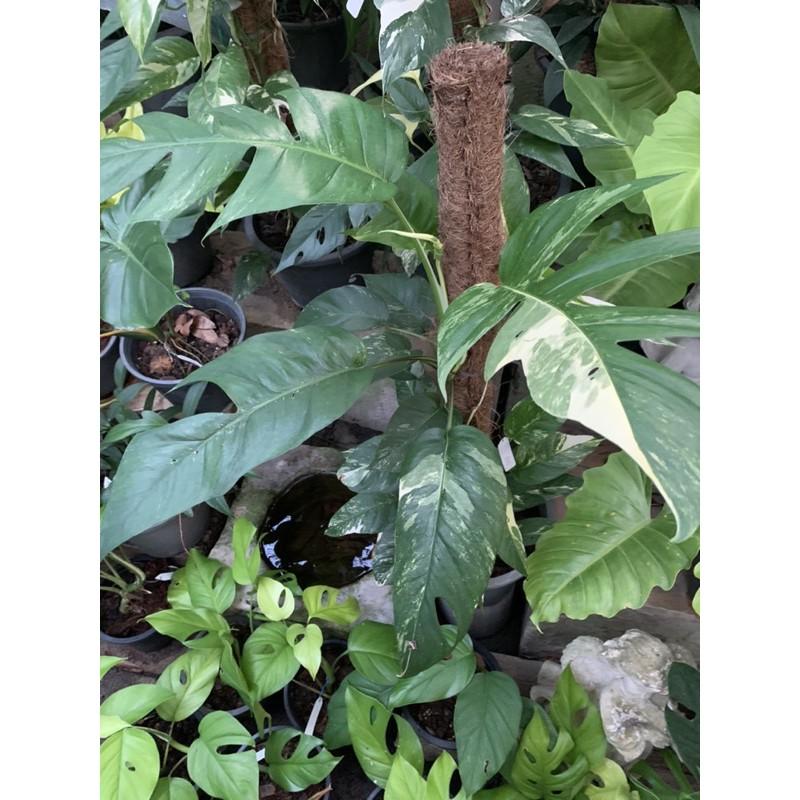 Epipremnum pinnatum variegated พลูฉีกด่าง อีพิด่าง