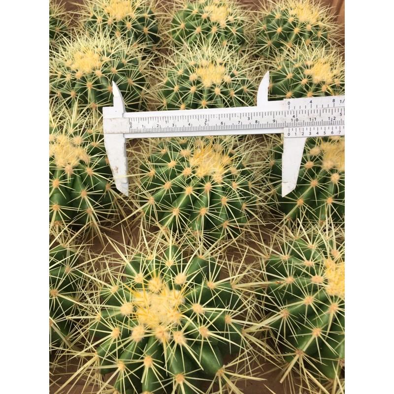 9-11 ซม. #แคคตัสราคาถูก# แคคตัสถังทอง (Golden barrel cactus)# กระบองเพชร # พืชทนแล้ง # ต้นไม้ทะเลทราย # อิชิโนแคคตัส