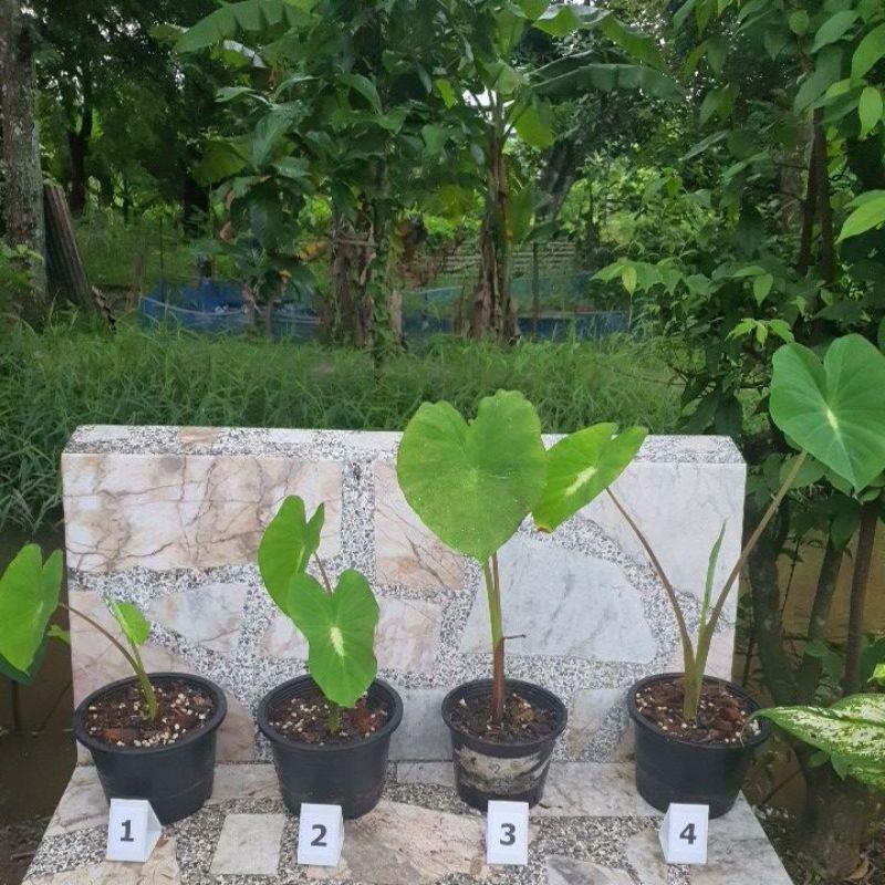"""colocasia nancy โคโลคาเซียแนนซี บอนแนนซี่ ถ่ายจากต้นจริง กระถาง5.5 """""""