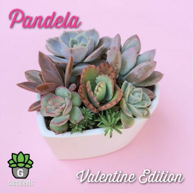 New Arrival  Valentine Bowlset Pandela กุหลาบหินนำเข้า ไม้อวบน้ำ