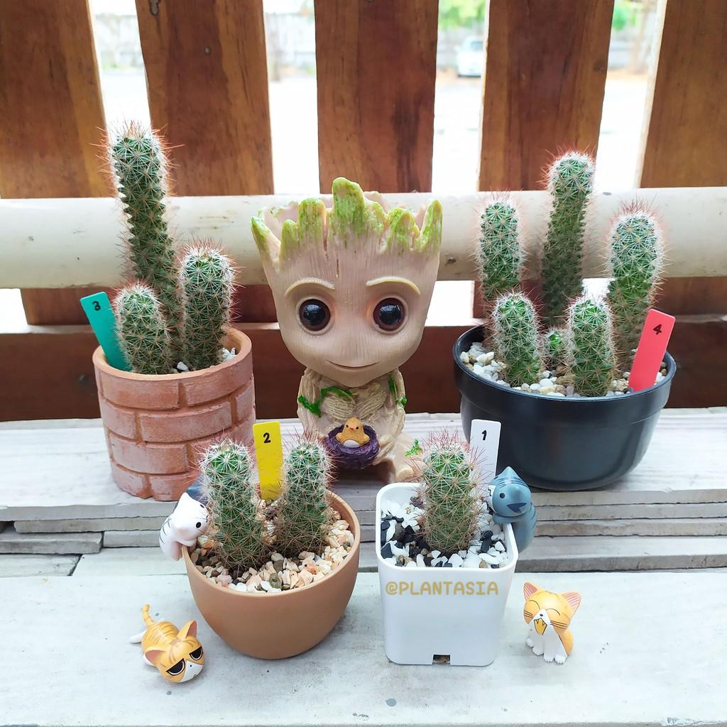 แคคตัส/กระบองเพชร แมมหนามสับปะรด แมมหนามแดง(Mammillaria) Cactus Succulent ไม้อวบน้ำ กระถางดินเผา Plantasia