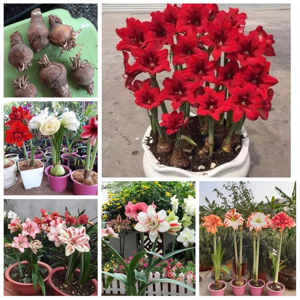 (สั่งขั้นต่ำ3หัว) ว่านสี่ทิศ นำโชคลาภ และความสดใสให้บ้านของคุณ หัว ดอก ต้น ว่านสี่ทิศ ว่าน4ทิศ ว่าน 4 ทิศ Flower Garden