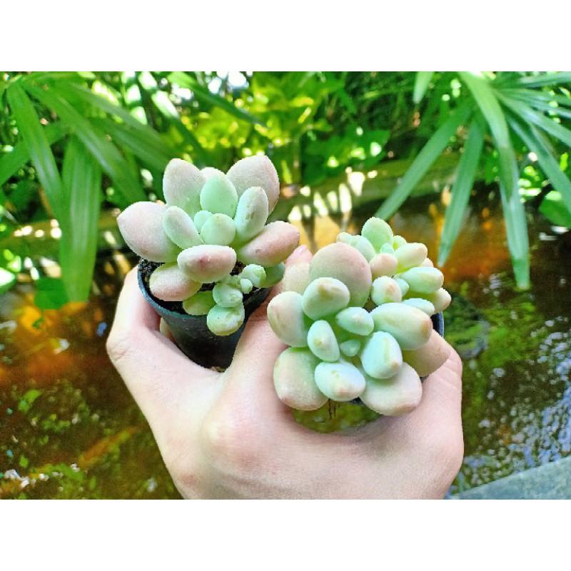 ไม้อวบน้ำ ลูกอม Graptoveria Opalina Hybit