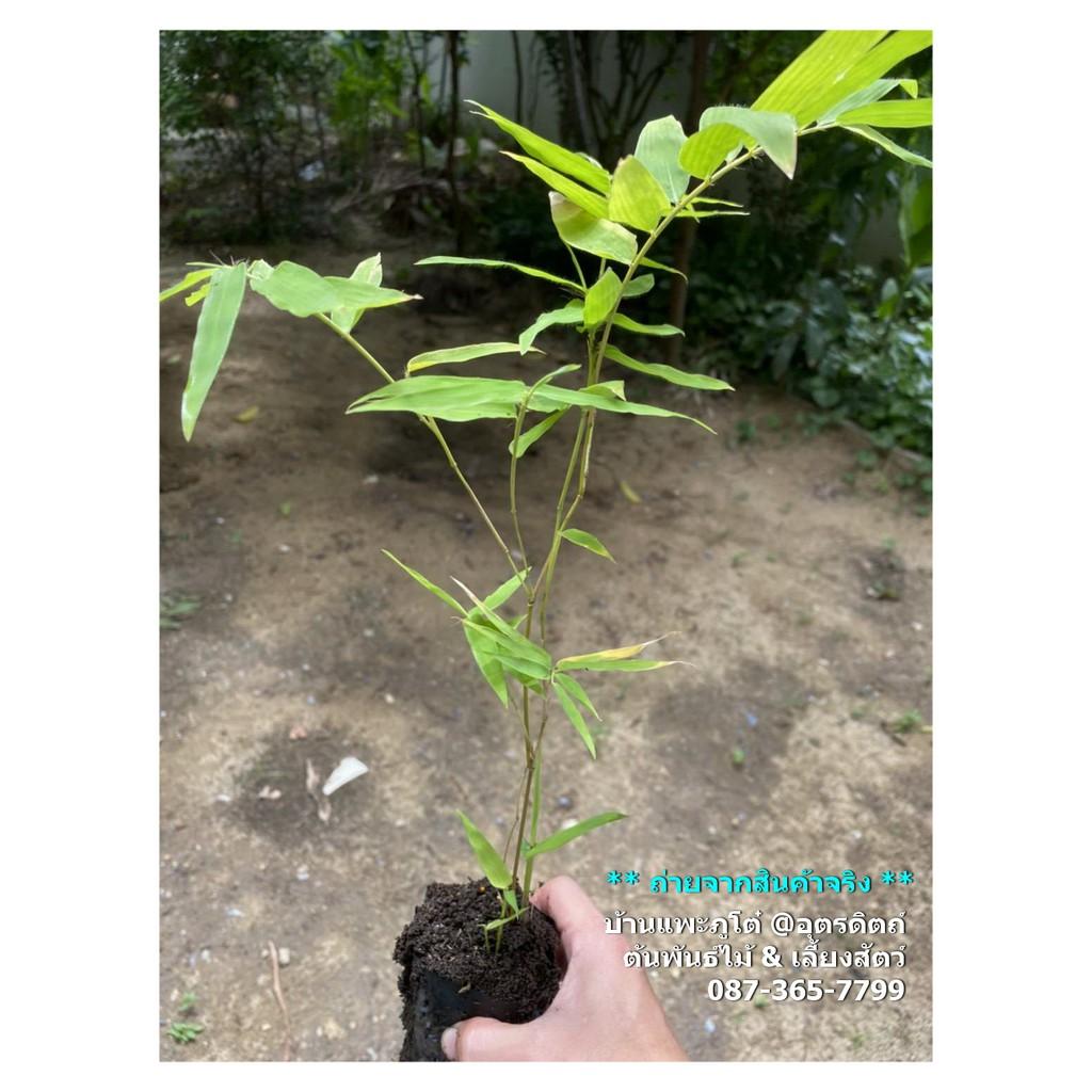 ไผ่ซางหม่น เพาะเมล็ด สูง 25-30cm (ถุงละ 35 บาท) ต้นไผ่ สั่งขั้นต่ำ 2 ถุง
