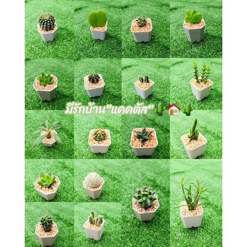 🌵อัพเดท cactus กระบองเพชร ไม้อวบน้ำ ไม้มงคล🌵