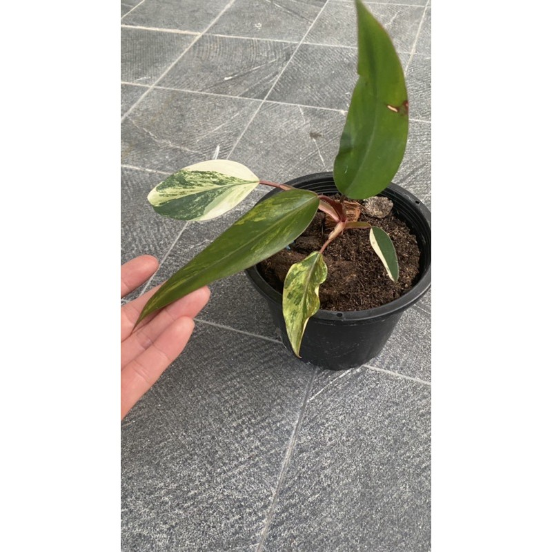 philodendron red emerald variegated
