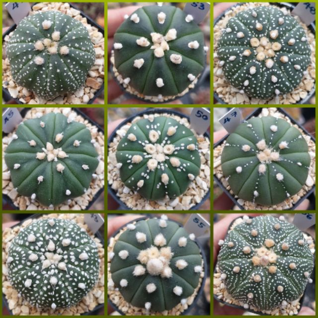 (19 สค.)🐮🐮 แอสโตร คัดสวยๆ 😊 ชอบต้นไหนเลือกเลยค่ะ 🐮 Astrophytum แอสโตรไฟตั้ม🐮 กระบองเพชร แคคตัส Cactus