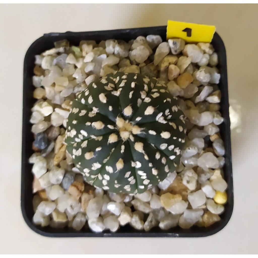 กระบองเพชร (Cactus) แอสโตรไฟตัม ซุปเปอร์ คาบูโตะ ลุ้นวี มีให้เลือก 4 กระถาง บางต้นอาจมีตำหนิที่โคนไม่มีผลต่อการเติบโต