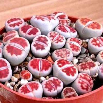 เมล็ดพืชอวบน้ำ ไม้อวบน้ำ karasmontana v mickbergensis red tops (20 seeds)