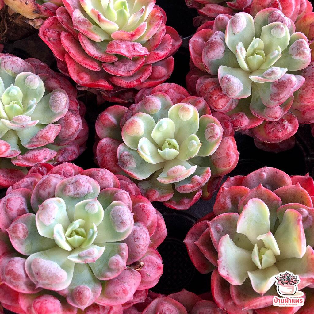 Echeveria Rain Drops #ไม้นำเข้า #ส่งแบบBareroot ไม้อวบน้ำ กุหลาบหิน Cactus&Succulent