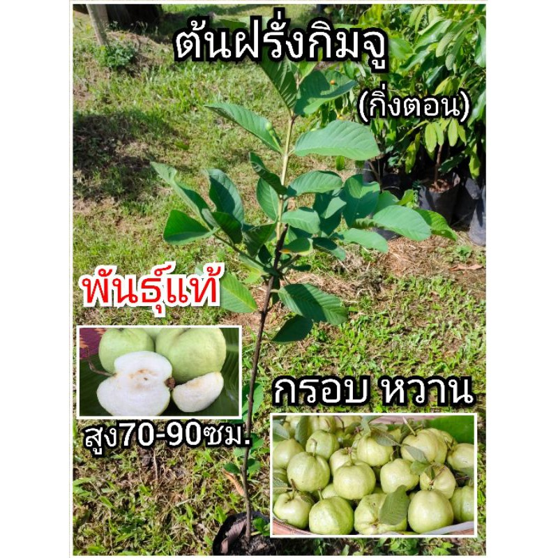 ต้นฝรั่ง ฝรั่งกิมจู (กิ่งตอน)พันธุ์แท้พร้อมปลูก กรอบ หวาน สูง70-90ซม.