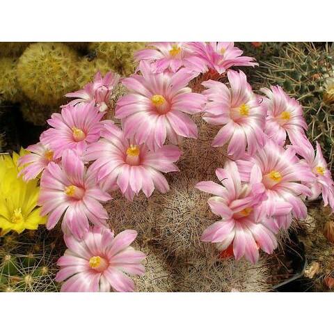 กระบองเพชร ไม้อวบน้ำ แคคตัส cactus succulent seeds เมล็ดพันธุ์ MAMMILLARIA tetracistra (20 seeds)