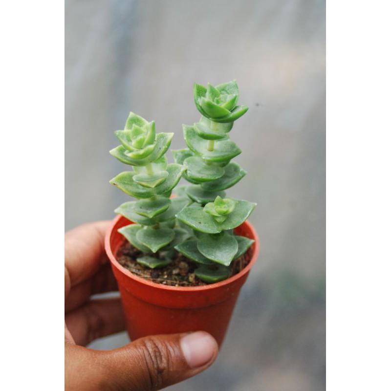 ไม้อวบน้ำ succulent 🌵🌵