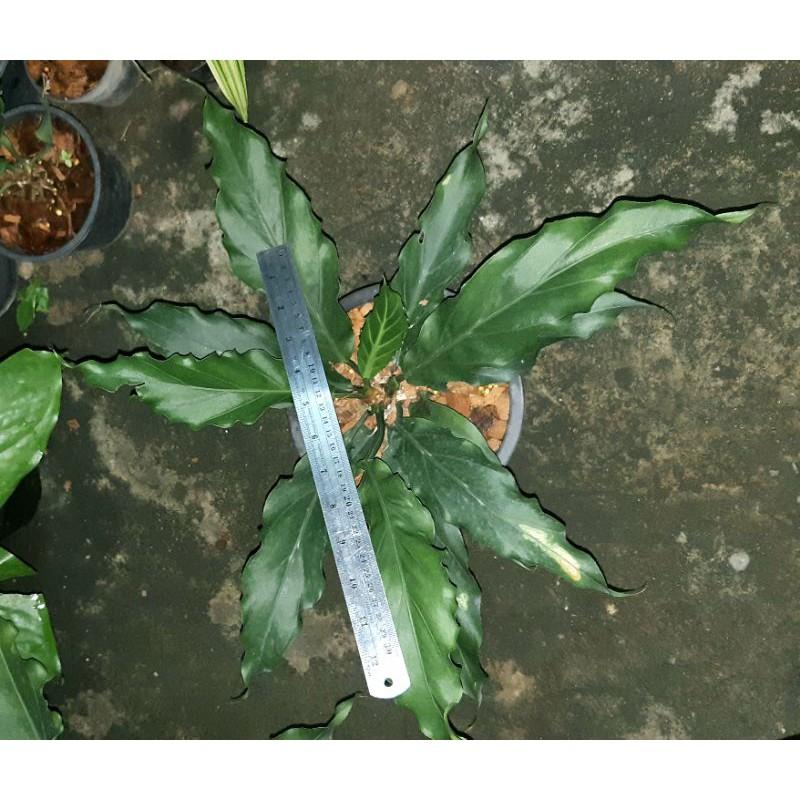 บัลลังก์เจ้าสัว Anthurium plowmanii