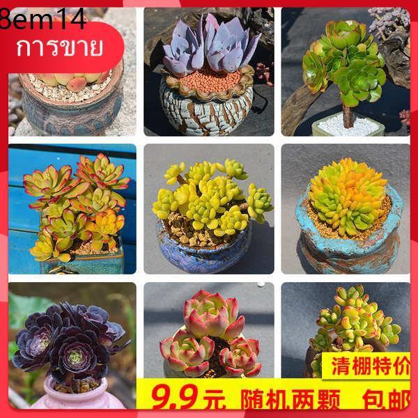 กุหลาบหิน Succulents เมล็ด ✶ไม้อวบน้ำ, เม็ดใหญ่, กองเก่า, กลุ่มยาว, พันธุ์หายาก, ไม้กระถางรวมเนื้อและเนื้อ, ลดราคาพิเศษ✳