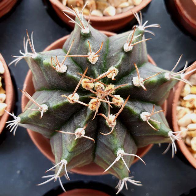 ยิมโน Gymnocalycium cactus แคตตัส กระบองเพชร