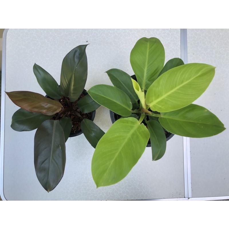 ต้นกุมารดำ+ต้นกุมารทอง มาแบบแพ็คคู่ 2 กุมารเรียกทรัพย์ #กุมารดำเรียกทรัพย์ #กุมารทองเรียกทรัพย์ #philodendron #ไม้มงคล