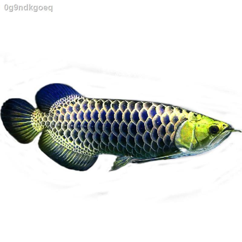 หัวทอง 24K ก้นสีน้ำเงินด้านหลัง ปลามังกรทอง ปลาสด พริกไทย แดง ซุปเปอร์เลือด อะโรวาน่าแดงสด ทอดเงิน มังกร ปลาเขตร้อน