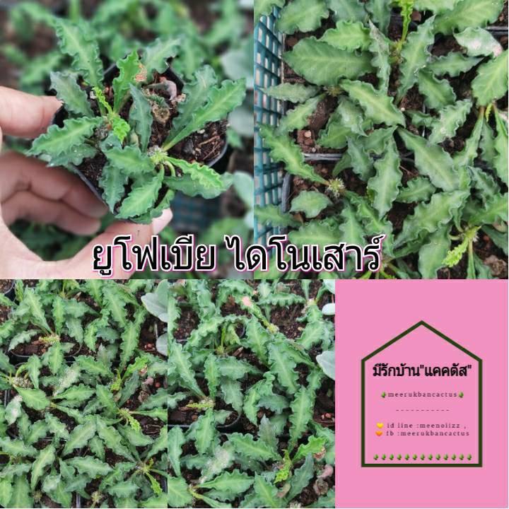 ยูโฟเบียไดโนเสาร์ Euphorbia decaryi cactus&succulent