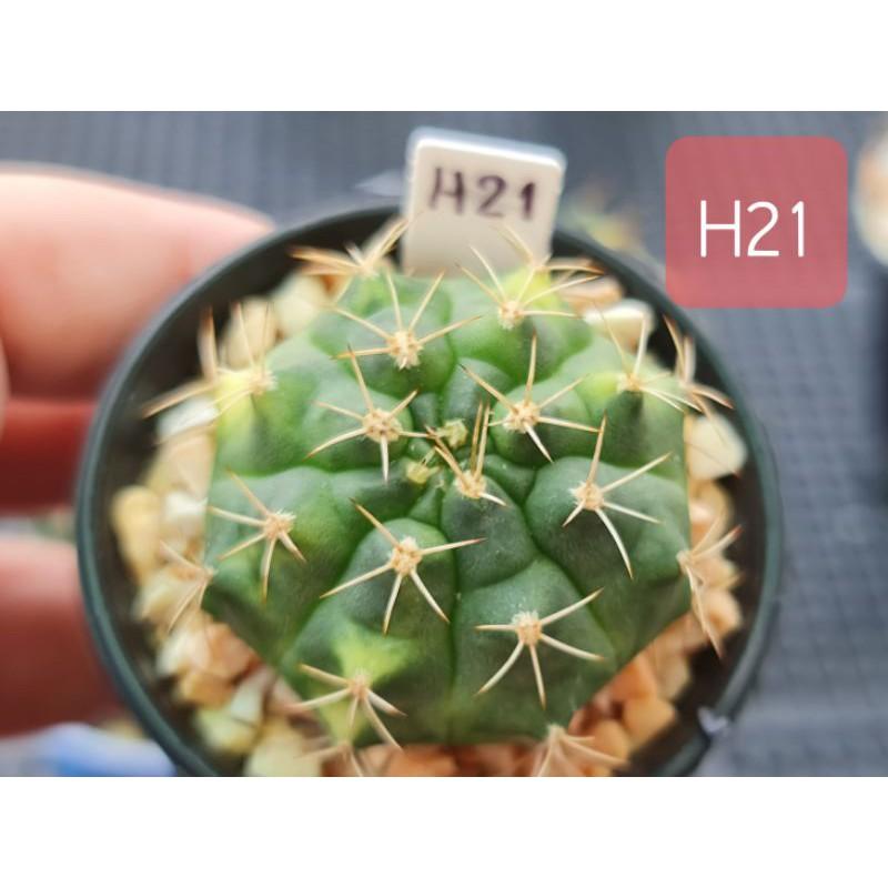 บุษราคัม Bussarakum ยิมโนด่าง แคคตัส กระบองเพชร เพชรแต้มสี PTS cactus