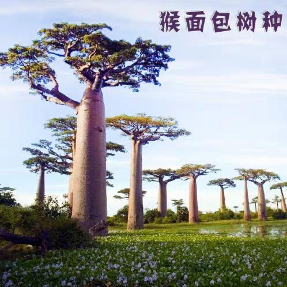 ♕❡พันธุ์ไม้นำเข้า เมล็ดพืชอวบน้ำ เมล็ดเบาบับ ผลไม้เบาบับ ต้นไม้ลิง ต้นโบบับ