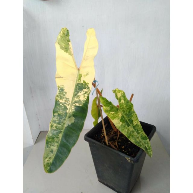 Philodendron billietiae variegated SD 2
