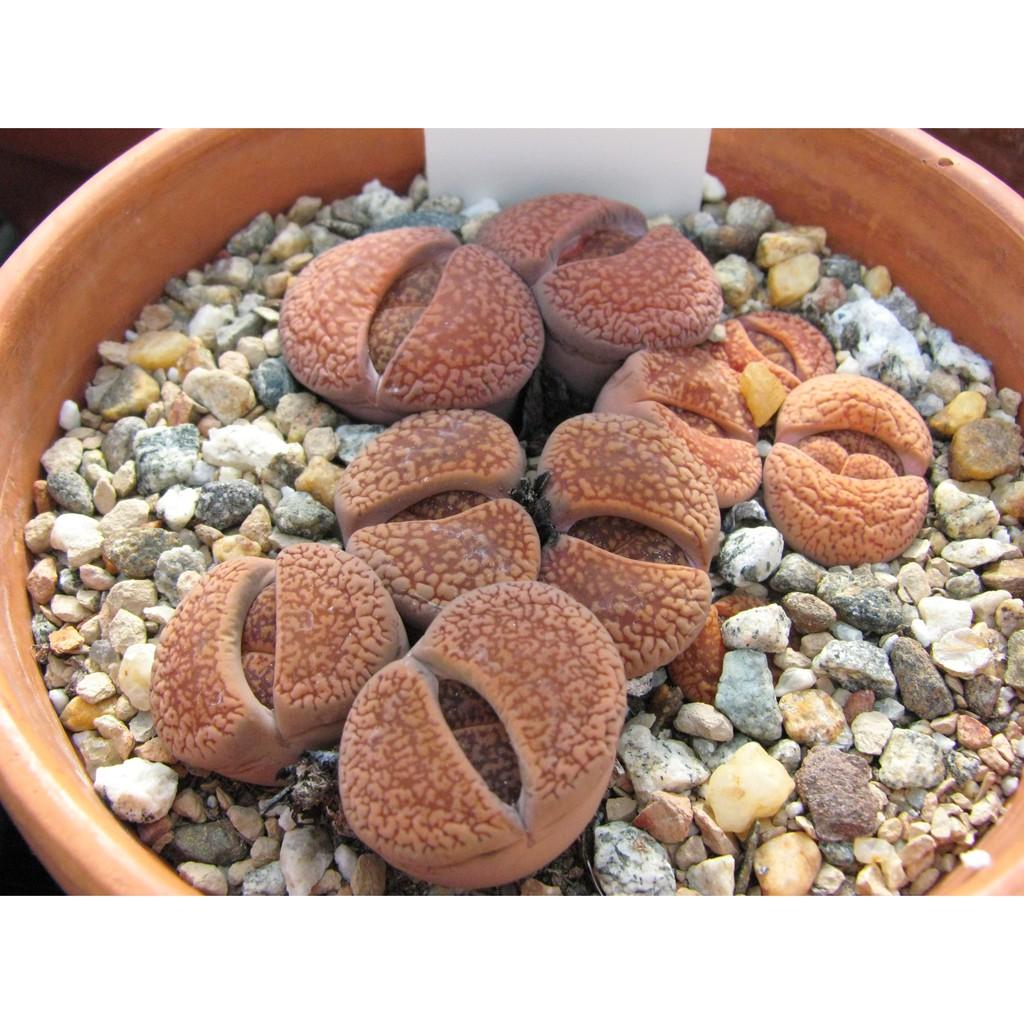 กระบองเพชร ไม้อวบน้ำ แคคตัส cactus succulent seeds เมล็ดพันธุ์ LITHOPS - aucampiae (20 seeds)