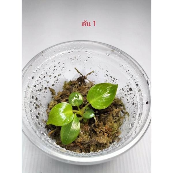 Philodendron Billietiae v. ก้านส้มแม่พันธ์ด่าง ลุ้นด่าง กระถาง 3 นิ้ว