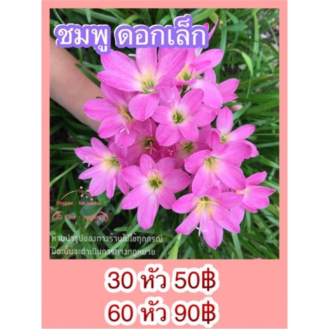 100x White Pampas Grass Cortaderia Selloana Seeds Ornamental Flower Plant Bonsai