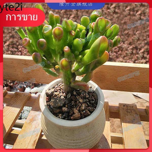Succulents กุหลาบหิน เมล็ด ♘ไม้อวบน้ำอวบน้ำ หรือที่เรียกว่าดอกหลอดเดือน กองเก่าใหญ่ ไม้ใบที่น่าสนใจ  ม้วนยูซู ฮอร์นเกือก